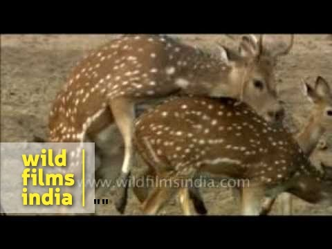 Spotted Deer Mating video