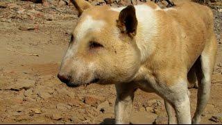 顔が膿んでパンパンに腫れてしまった犬を救助成功