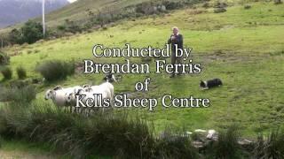 Brilliant Sheep Herding Demonstration Using Border Collies