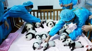 Giant panda cubs - no comment