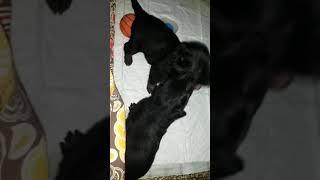 Cute GSD Puppies fighting hard @ 3 weeks Old :)