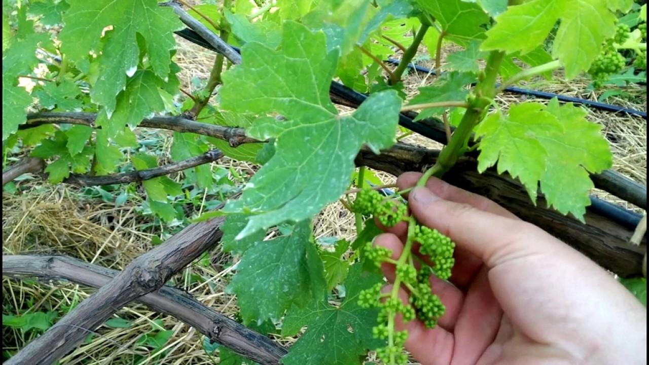 Выращивание винограда из года в год 161