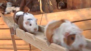 Guinea Pig Bridge at the Nagasaki Bio Park - song by Parry Gripp