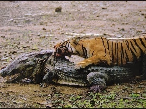 Tiger vs Crocodile - Best Attack and Real Fight - Animals Attack 2015