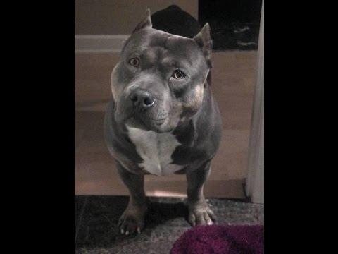 My Funny And Cute Pit Bull Bully Dog Talking