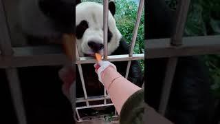 Panda Jin Hu-An angry panda baby