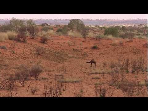Australian Feral Camel Management Project 2013