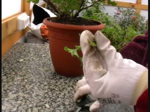 Poda y rejuvenecimiento de geranios 0001 youtube - Poda de hortensias epoca ...