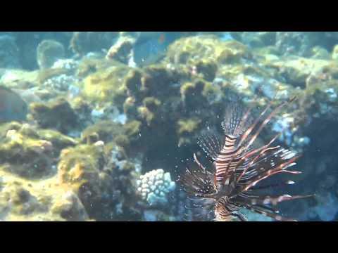 Подводный мир Красного моря 5: Крылатка. ОПАСНО ДЛЯ ЖИЗНИ!!!