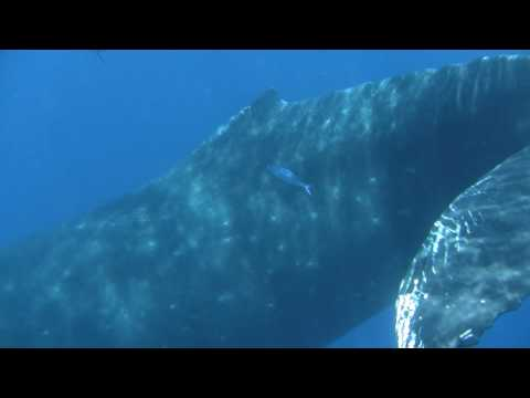 Humpback whale (mother & calf)