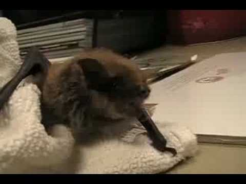Baby Brown Bat - Little Louisa Video
