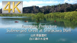 4K Yamagata Prefecture Submerged forest at Shirakawa Dam 山形県白川湖の水没林