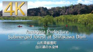 4K Yamagata Prefecture Submerged forest at Shirakawa Dam 山形県白川湖の水没林