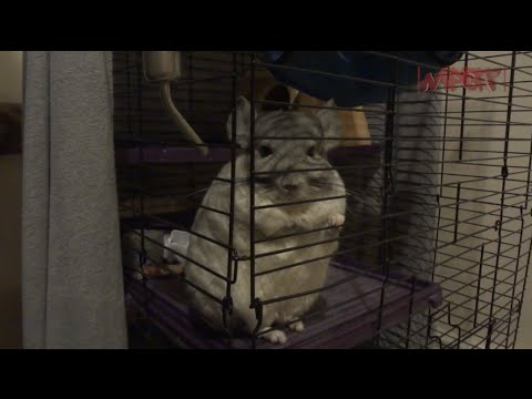 Pikachu and Raichu the Chinchilla's (Southern & Northern Peru/Chile Chin's) 1080p