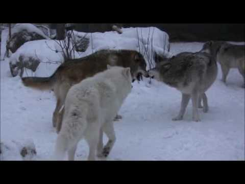 Impending Storm Stimulates Wolves
