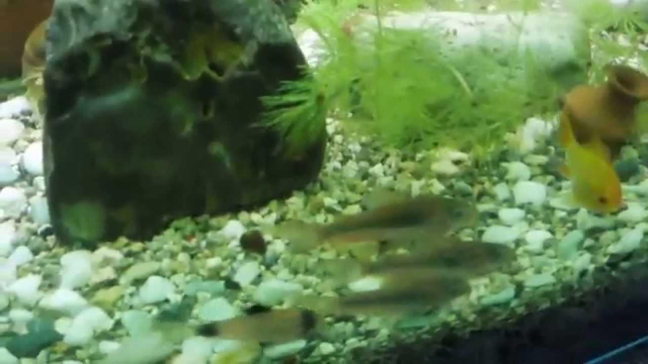сомики в мини аквариуме: