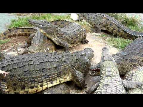 Laguna Blu Resort – Coccodrilli mangiano (Crocodiles eating chickens)