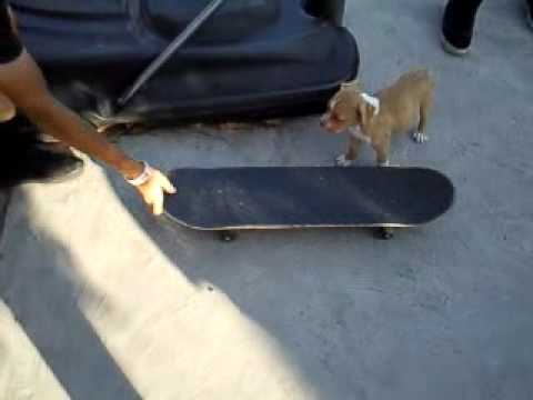 Almost Skateboarding Dog