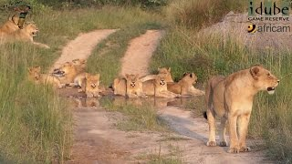 Daughters Of The Mapogo Lions - Rebuilding The Othawa Pride - 52: Stunning Sighting #youtubeZA