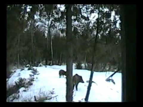 Big Bore Air Rifle Russian Boar Hunting with Gargoyle 45-1.wmv