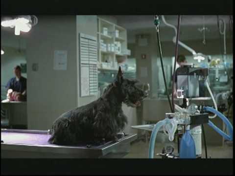 spaying dog. Dog, Scotty Dog Spay/Neuter