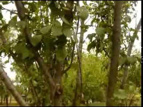 Prun -Copac medicinal -Farmacia naturii