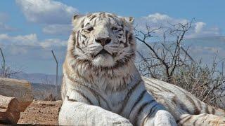 เสือขาวแห่งป่าใหญ่ แลมีสง่าและสวยงามมาก