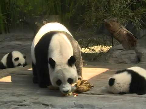 Rare panda triplets return to mother's care