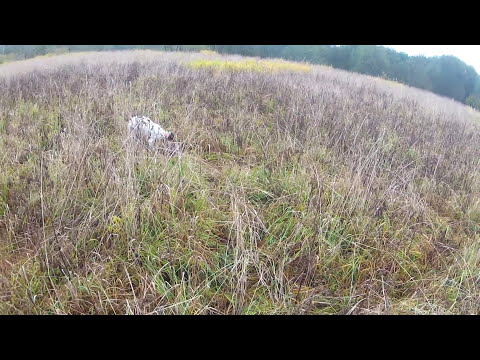 Pheasant hunting with german pointer-Washington State
