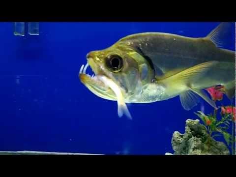 Red Tail Payara - Saber Tusk Barracuda - FEEDING! - YouTube
