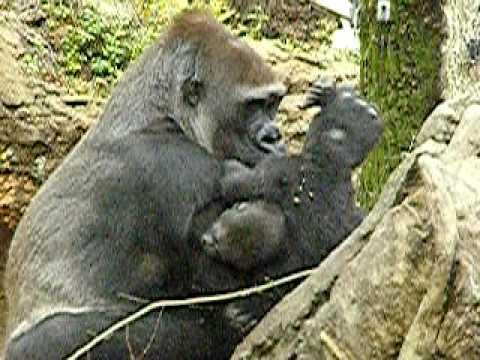 ニシローランドゴリラの親子、モモコと赤ちゃんのコモモ。009