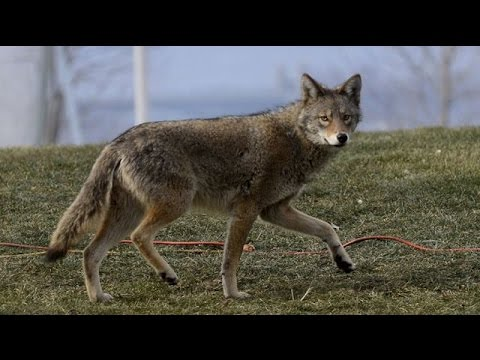 Coyote 20 yards! Coyote Hunting with FoxPro & Mojo Critter