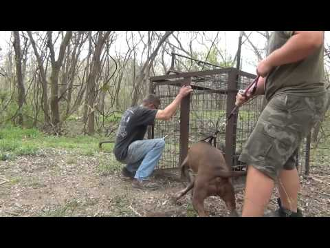 Hog Trap 28. 3 Little Pigs and a Pit Bull