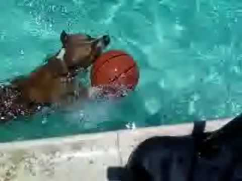 pitbull swimming