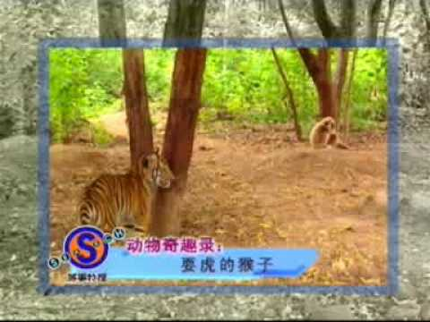 Monkey teasing Tiger cubs Video
