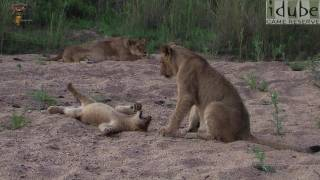 Lion Pride Play Together #youtubeZA