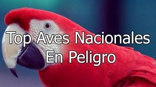 Top 6 Aves Nacionales en Peligro   K Tops!