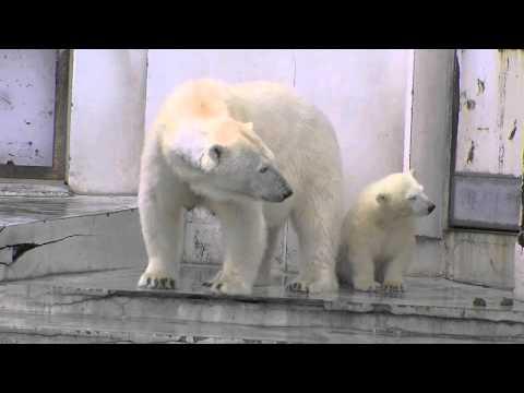 激しい雨に起こされたホッキョクグマ~Polar Bear awoke in rush of rain