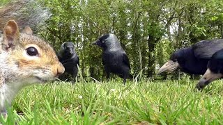 Entertainment Videos of Birds For Cats and Dogs To Watch - Rooks and Jackdaws 4