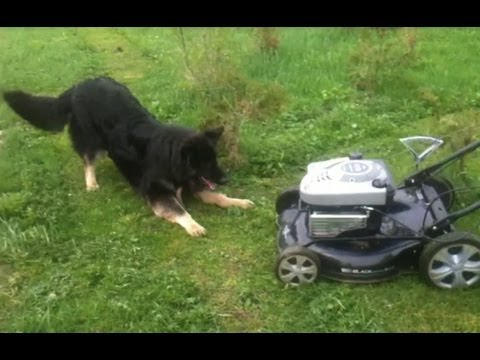 Dog vs. Lawn Mower