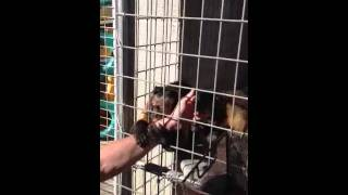 Capuchin monkey see his human brother after one year