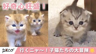 みんな〜!行くよ〜!🐱 好奇心旺盛な子猫達の大冒険✨ 【PECO TV】