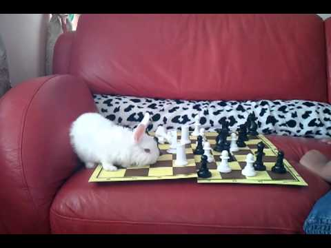Smart rabbit playing chess