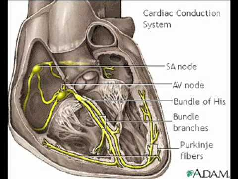 Heart conduction system anatomy