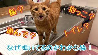 【猫 鳴き声】やたら鳴く猫と呼んでないのに来る猫がかわいい!