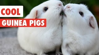 Cool Guinea Pigs Video Compilation 2017