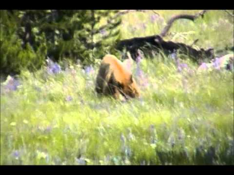 Bear Sighting - Yellowstone 07.22.2011