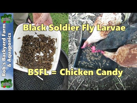 Black soldier fly larvae harvest from the compost pile.. BSFL = Chicken Candy..