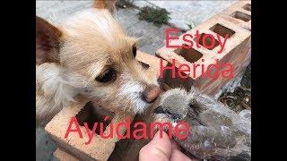Rescate de Palomita Bebe herida, rescate animal, (recue injury pigeon, animal rescue)