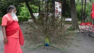 Peacock dance in Buenos Aires Zoo, Argentina ~ Also African Grey, Hahn